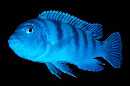 cichlid: female cichlid