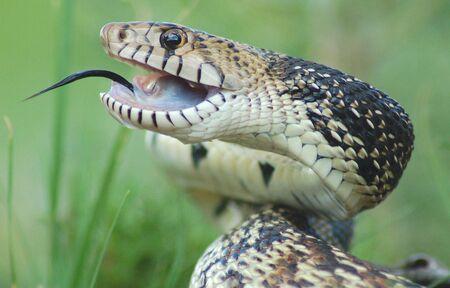 Bull Snake  Standard-Bild - 1327042