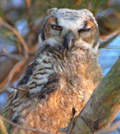 Junge Horned Owl Standard-Bild - 1405320