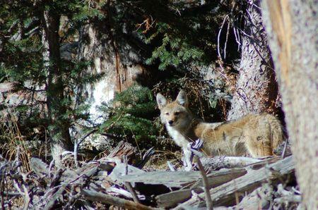 Coyote Standard-Bild - 2038701