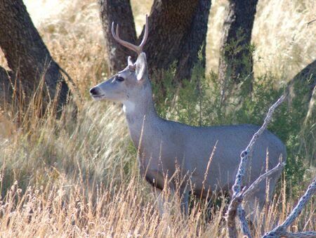 mule deer Фото со стока