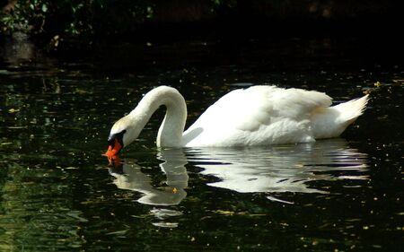 Swan Standard-Bild - 2154471