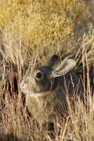 Cottontail Rabbit Standard-Bild - 2163223