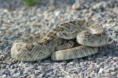 Diamond Back Rattle Snake Standard-Bild - 2168222