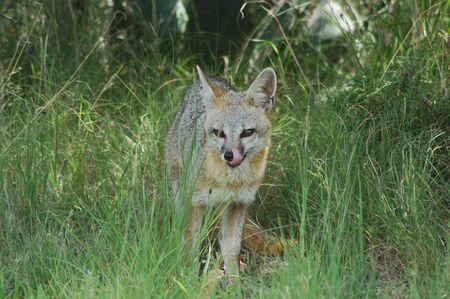Gray Fox Standard-Bild - 2168225