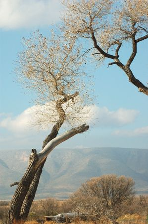 Cotton Wood Trees photo