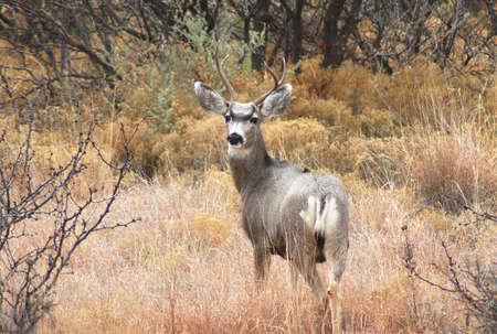 Mule Deer Buck  Standard-Bild - 2236156