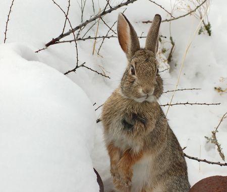 Cottontail im Schnee  Standard-Bild - 2236145