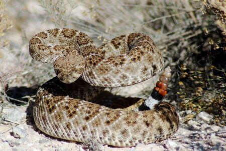 Western Diamond Back Rattle Snake Standard-Bild - 2303435