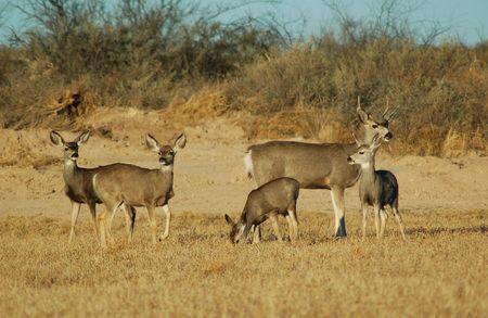 Mule Deer Standard-Bild - 2303434