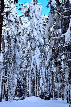 Walking inside a Pine Forest covered with Snow during Wintertime in Transylvania.