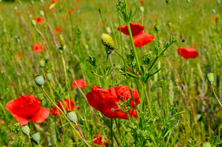 Red Poppy Field in Golden Wheat Field during Summer at Countryside in Transylvania. Foto de archivo - 150020677