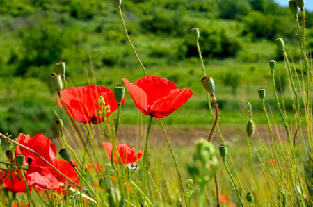Red Poppy Field in Golden Wheat Field  with green Hillside in the background during Summer at Countryside in Transylvania. Foto de archivo