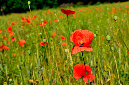Red Poppy Field in the Green Wheat Field during Summer at Countryside in Transylvania.