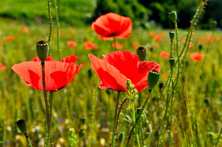 Red Poppy Field in green Wheat Field during Summer at Countryside in Transylvania.