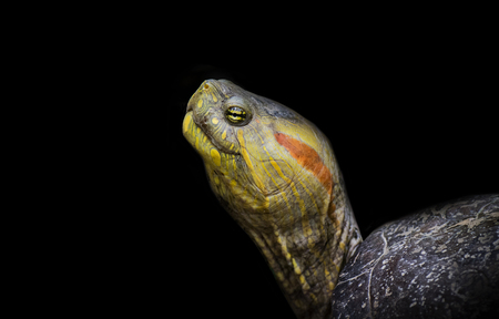land turtle: Great specimen of red-eared turtle in black background.
