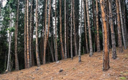 Quiet pine forest in the neusa reservoir, cundinamarca