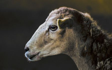 Side view picture of a quiet sheep into its shed