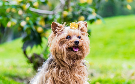 Cute female dog of breed Yorkshire Terrier decorated with a yellow flower on his head Reklamní fotografie