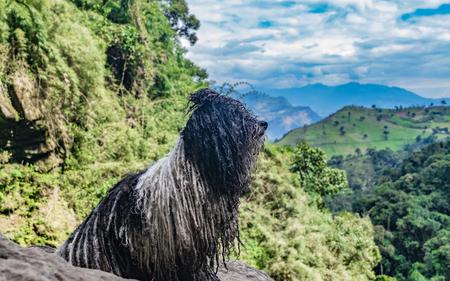 Nice Hungarian dog Puli standing on top of a mountain Reklamní fotografie