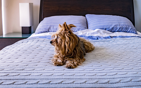 Yorkshire terrier relaxed on his owners bed Reklamní fotografie