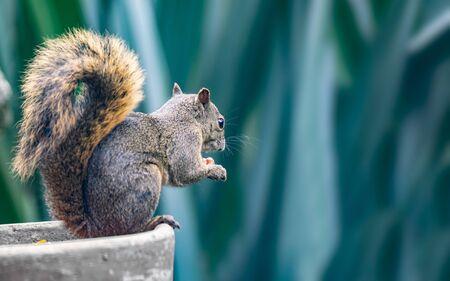 Beautiful red-tailed squirrel (Sciurus granatensis) eating a nut Reklamní fotografie