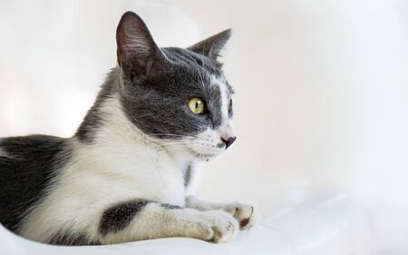 Amazing gray and white cat with intense yellow eyes staring