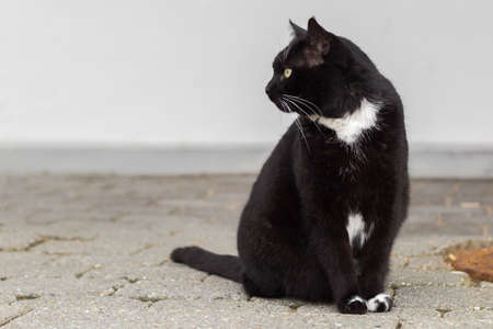 Black and white cat sitting gazing to the left, shallow depth of field 版權商用圖片