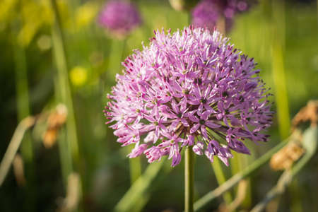 sensation: Allium, Persian onion, purple sensation, closeup, shallow depth of field Stock Photo