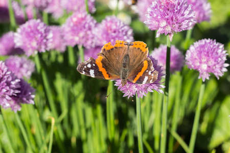 Dorsal view of red admiral (vanessa atalanta) butterfly sitting on a chive blossom, shallow depth of field macro