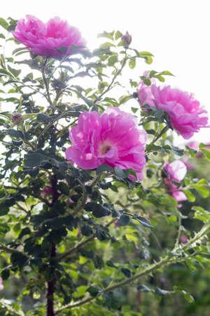 Pink Rose Heidetraum backlit by sun, vertical, closeup