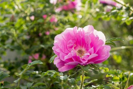 Pink Rose Heidetraum in bloom, shallow depth of field, horizontal, closeup