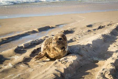 Common seal sunbathing on the beach