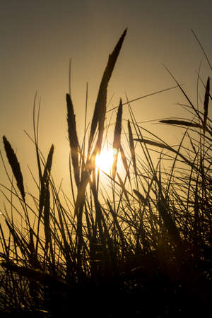 Lyme grass in silhouette against the setting sun