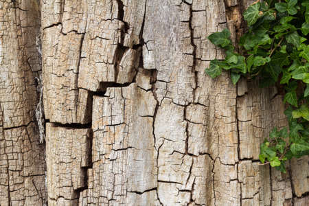 Old cracked tree bark partially covered in ivy, horizontal with copy space 版權商用圖片