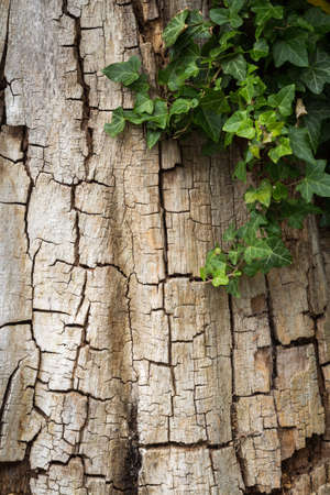 Old cracked tree bark partially covered in ivy, vertical with copy space 版權商用圖片