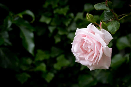 Pale pink rose against blurred dark green background, horizontal