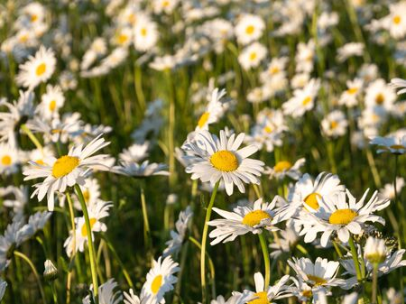 Field of leucanthemum vulgare, ox-eye daisies, in morning sunlight, shallow DoF