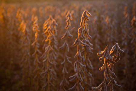 Northeast China soybean maturity Stock Photo
