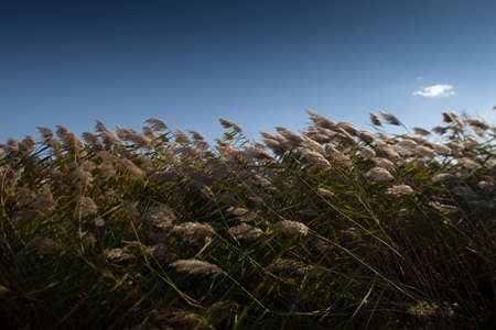 reed: China Northeast autumn reed