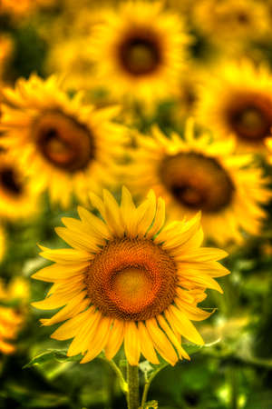 Sunflower with background of sunflowers, shallow depth of field, shallow perspective, soft light.