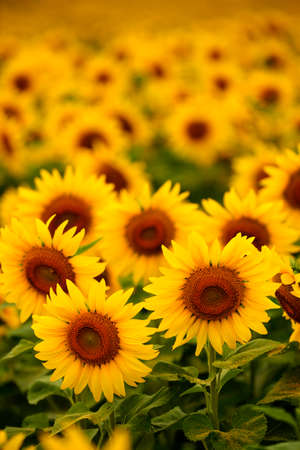 A field of sunflowers in soft light with shallow depth of field.