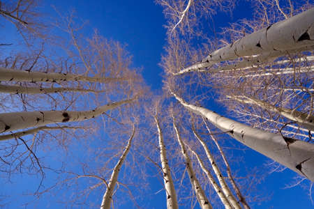 straight up: Aspen tree group viewed straight up during winter with clear sky.