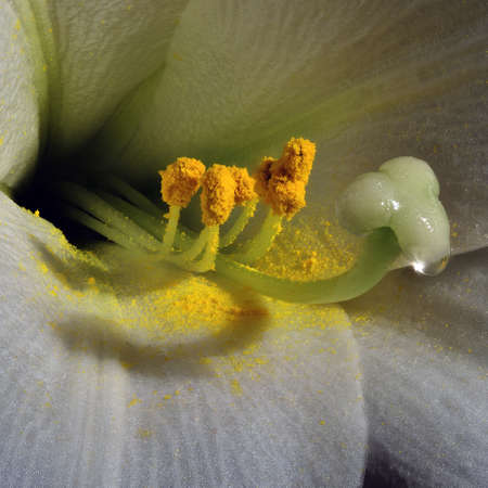 easter lily: Lilium longiflorum often called Easter Lily.  Extreme closeup showing pistil, stamens and pollen.
