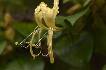 specifically: Japanese honeysuckle Lonicera japonica, specifically Halls honeysuckle.  Close shot macro, micro showing a pair of blossoms wet with droplets of morning dew. Stock Photo