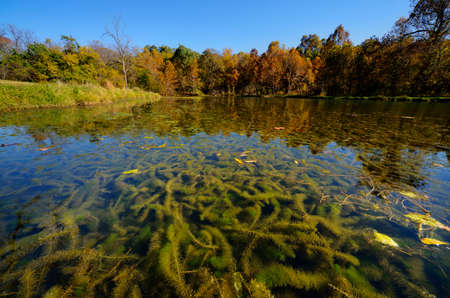Eurasian milfoil Myriophyllum spicatum clogging a small spring fed lake.  Landscape orientation.  Deep perspective.