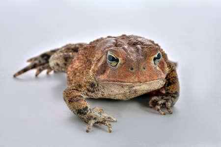 bufo toad: Common toad Bufo bufo studio shot on plain white background. Stock Photo
