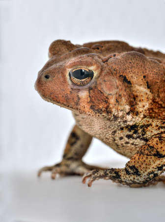 bufo toad: Common toad Bufo bufo studio shot on plain white background. Stock Photo