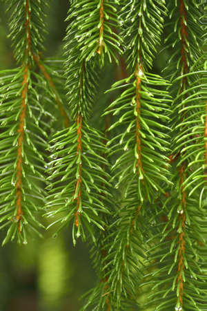 picea: Closeup of weeping spruce Picea branch Stock Photo