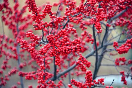Bright red winterberries Ilex verticillata on branches during the winter season.